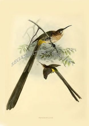 Sunbirds (Family of Nectariniidae) By Captain G. E. Shelley (1876-1880)